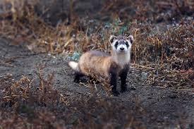 a fleet of m u0026m shooting drones is the black footed ferret u0027s last