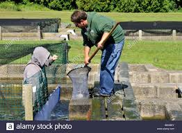 workers at sandwich cape cod fish hatchery netting trout stock