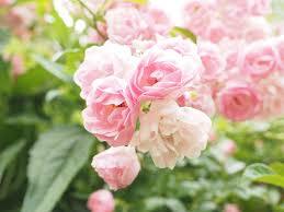 Pink Light Rosebush Free Pictures On Pixabay