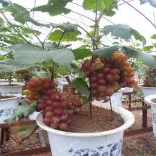 Miniature Indoor Plants by Online Shop 50pcs Rare Miniature Grape Vine Seeds Indoor Plant