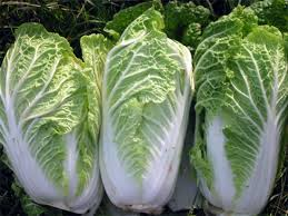 cabbage china cabbage asia seeds