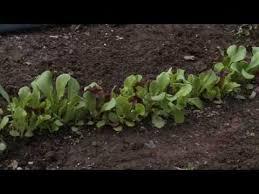 30 best grow u0026 assess lettuce images on pinterest grow lettuce