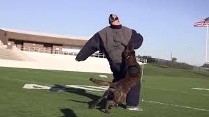 belgian shepherd houston kristi schiller houston socialite gives dogs to police departments