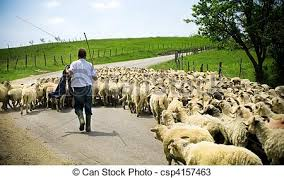 Traditional Farming Shepherd With His Sheep Herd Stock Photos