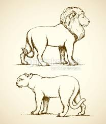 lion and lioness vector drawing vector art thinkstock
