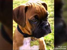 boxer dog price price of boxer dogs youtube
