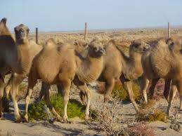 wild camel wild camels protection foundation