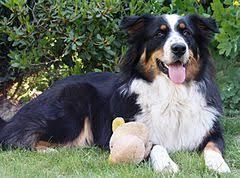 australian shepherd 4 monate gewicht australian shepherd wikiwand
