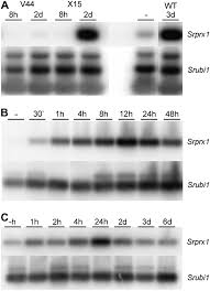 a symbiotic plant peroxidase involved in bacterial invasion of the