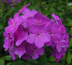 Phlox Flower Texas Pink Garden Phlox Summer Border Phlox Fall Phlox