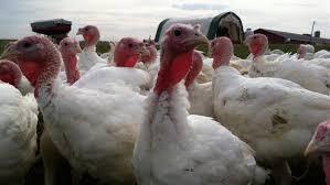 turkey tech history of thanksgiving history