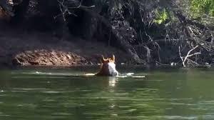 Arizona wild swimming images Wild horses swimming the salt river arizona jpg