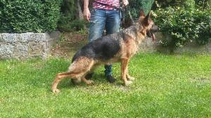australian shepherd 1 jahr kaufen hunde kaufen und verkaufen in berlin u2013 tiere bei kalaydo de