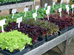 edible landscaping the winter vegetable garden in warm climates