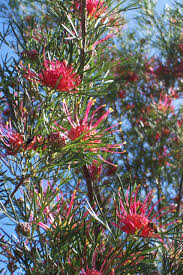 native plants southern california trees for san diego and southern california archives christiane