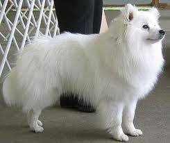 miniature american eskimo dog life expectancy american eskimo dog pets cute and docile