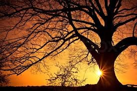 silhouette of a willow tree with the sun the tree stock
