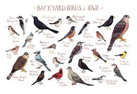 Iowa birds images Iowa backyard birds field guide art print watercolor jpg