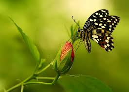 butterfly black wings skin butterfly insect pictures of
