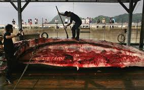 no way norway norway u0027s annual slaughter of whales