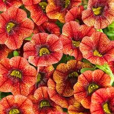 12 Best Annual Flowers For 120 best flowers plants trees for oklahoma images on pinterest