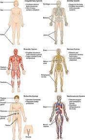 Human Female Anatomy Organs Human Body Systems Human Male Female Anatomy Organ Charts