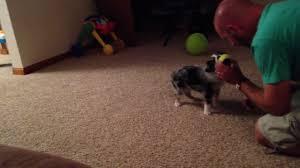 training a australian shepherd puppy training an australian shepherd puppy to play fetch with a ball