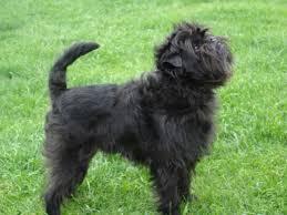 affenpinscher breeders canada affenpinscher puppies for sale u2013 dogs in our life photo blog