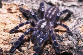 animal spotlight peacock tarantula by anti wolf on deviantart