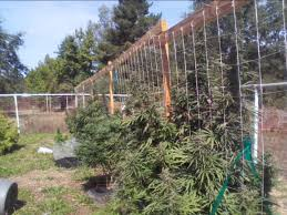 Pvc Pipe Trellis Vertical Trellis Cannabis Garden Wmv Youtube