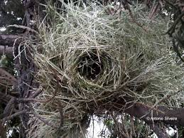 common waxbill estrilda astrild nest situated 1 6cm height in