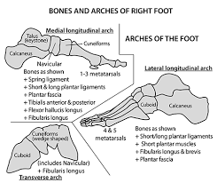 Foot Ligament Anatomy Instant Anatomy Lower Limb Areas Organs Foot Arches
