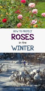 love roses are winters harsh see what you can do to protect your