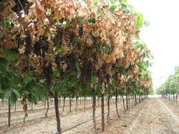 Trellis System Uc Releases New Cost Studies For Growing Plums And Raisins In The