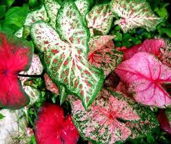 how to grow caladium plants caladium plants com
