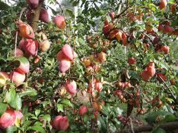 my edible fruit trees plum trees