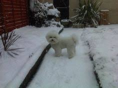 6 month old bichon frise for sale 6month old bichon frise for sale bichon frise pinterest