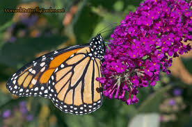 butterfly plants list butterfly flowers and host plant ideas monarch
