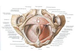Perineum Anatomy Female Biology 224 Human Anatomy And Physiology Ii Week 9 Lecture 2