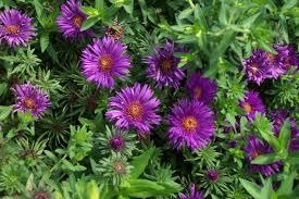 perennials for season long bloom purple flowering plants