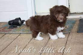 puppies indiana sold puppies in indiana noah s ark