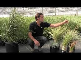 japanese blood grass imperata cylindrica baron bylands