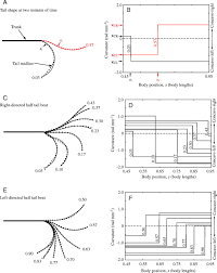 mechanisms of helical swimming asymmetries in the morphology