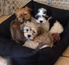 bichon frise kennels beautiful lhasa apso cross bichon frise puppies warrington