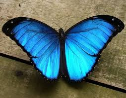 blue butterfly collection 31