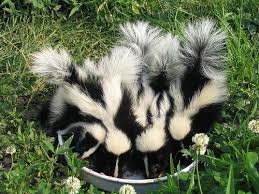 129 best skunks images on pinterest baby skunks wild animals