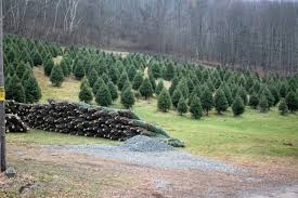 live christmas trees popular this season news wyoming county