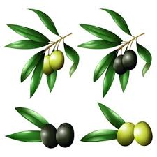 olive vectors photos psd files free download