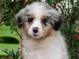 australian shepherd puppy australian shepherd puppies for sale euro puppy