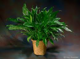 indoor plant indoor plants for home office green plants vickies flowers
